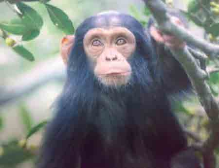 UNIQUENESS OF BWINDI Chimpanzee; Adult & Young