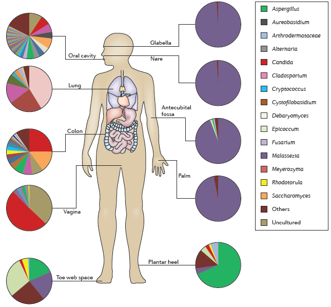 The human mycobiota (Underhill DM, Iliev ID: 2014) The human mycobiome includes 390 fungal species detected on the skin, in the vagina, in the oral cavity, and in the digestive tract that includes