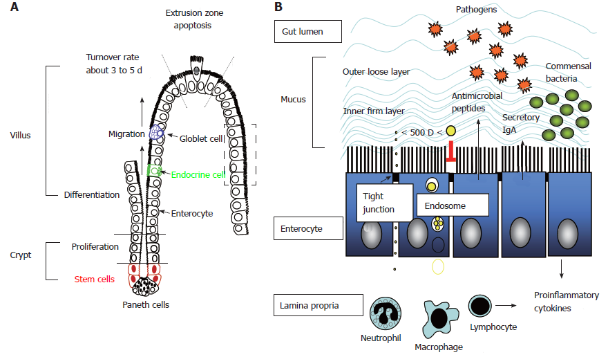Intestinal crypt-villus axis and formation of intestinal barriers