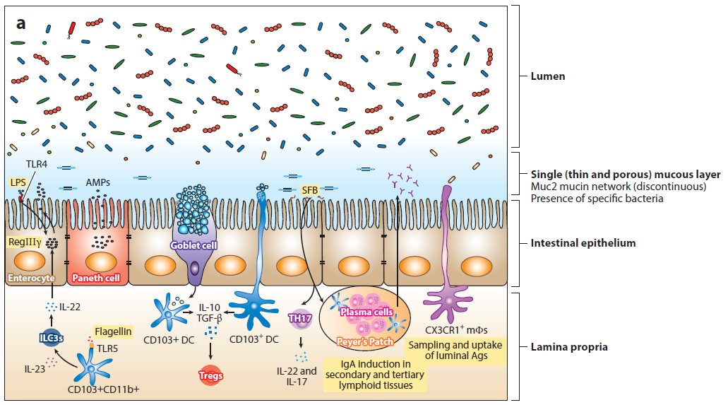 Maintenance of intestinal homeostasis in the