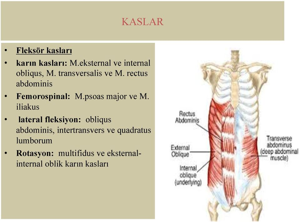 iliakus lateral fleksiyon: obliqus abdominis, intertransvers ve