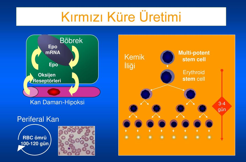 stem cell Erythroid stem cell Kan