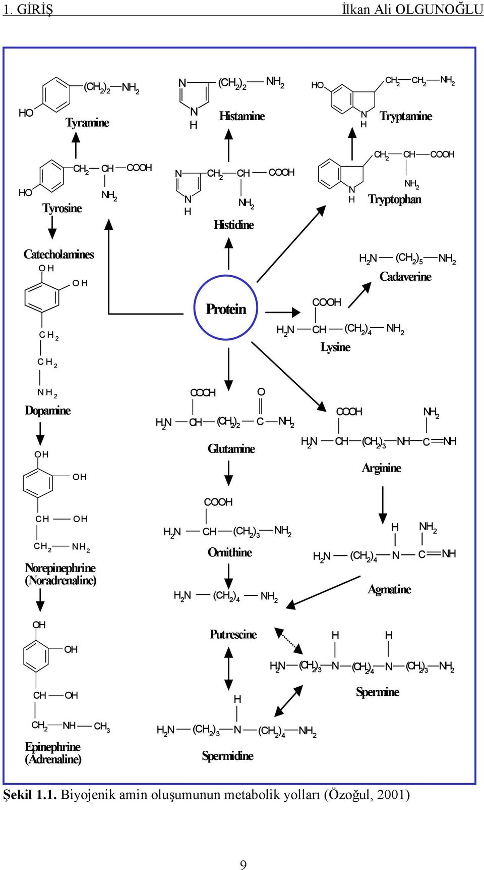2 N CH (CH 2 ) 3 NH C Arginine NH COOH CH OH H 2 N CH (CH 2 ) 3 NH 2 H NH 2 CH 2 NH 2 Norepinephrine (Noradrenaline) Ornithine H 2 N (CH 2 ) 4 NH 2 H 2 N (CH 2 ) 4 N C Agmatine NH OH OH Putrescine H