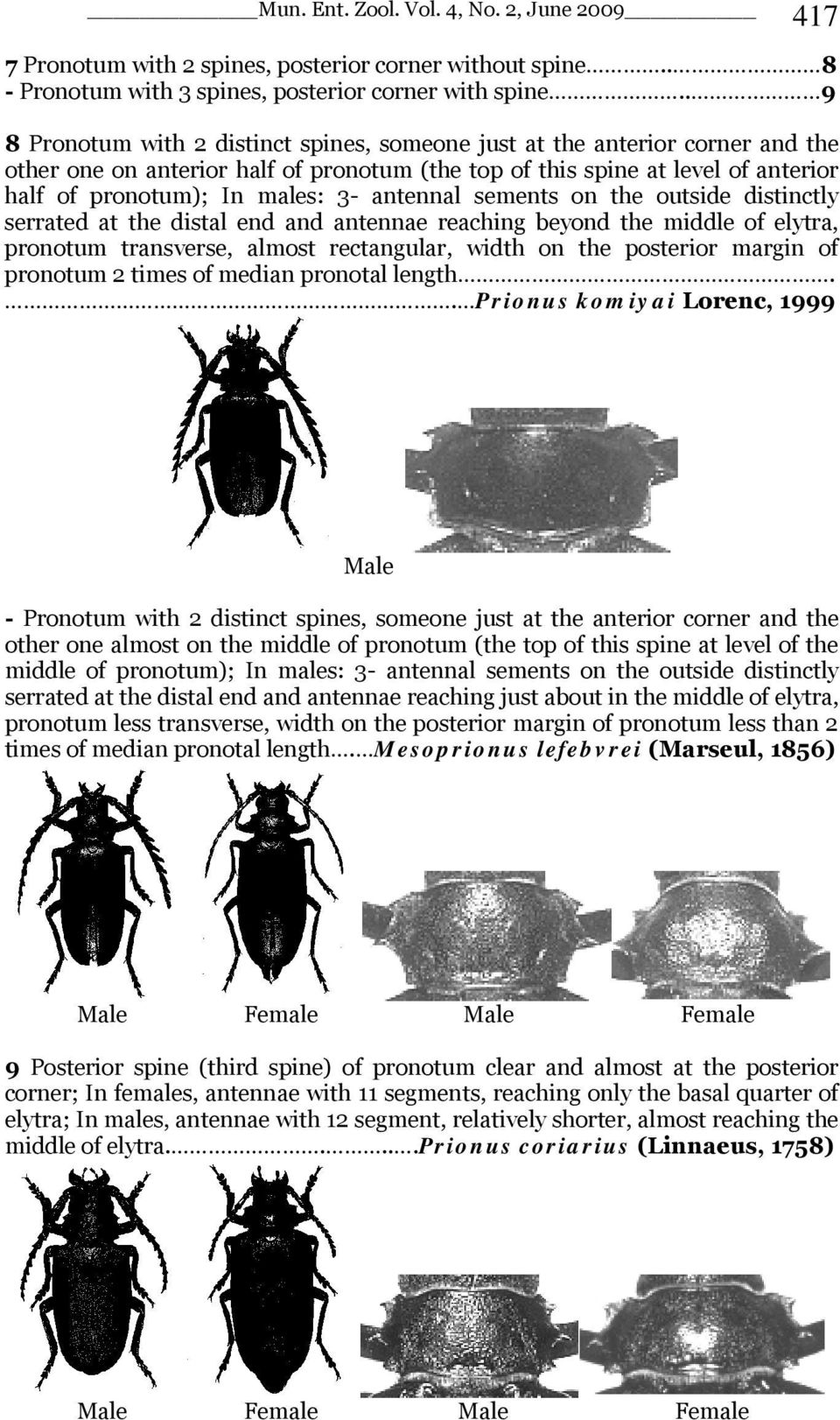 antennal sements on the outside distinctly serrated at the distal end and antennae reaching beyond the middle of elytra, pronotum transverse, almost rectangular, width on the posterior margin of
