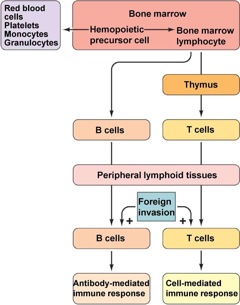 Thymus B cells T cells Peripheral lymphoid tissues Foreign invasion B