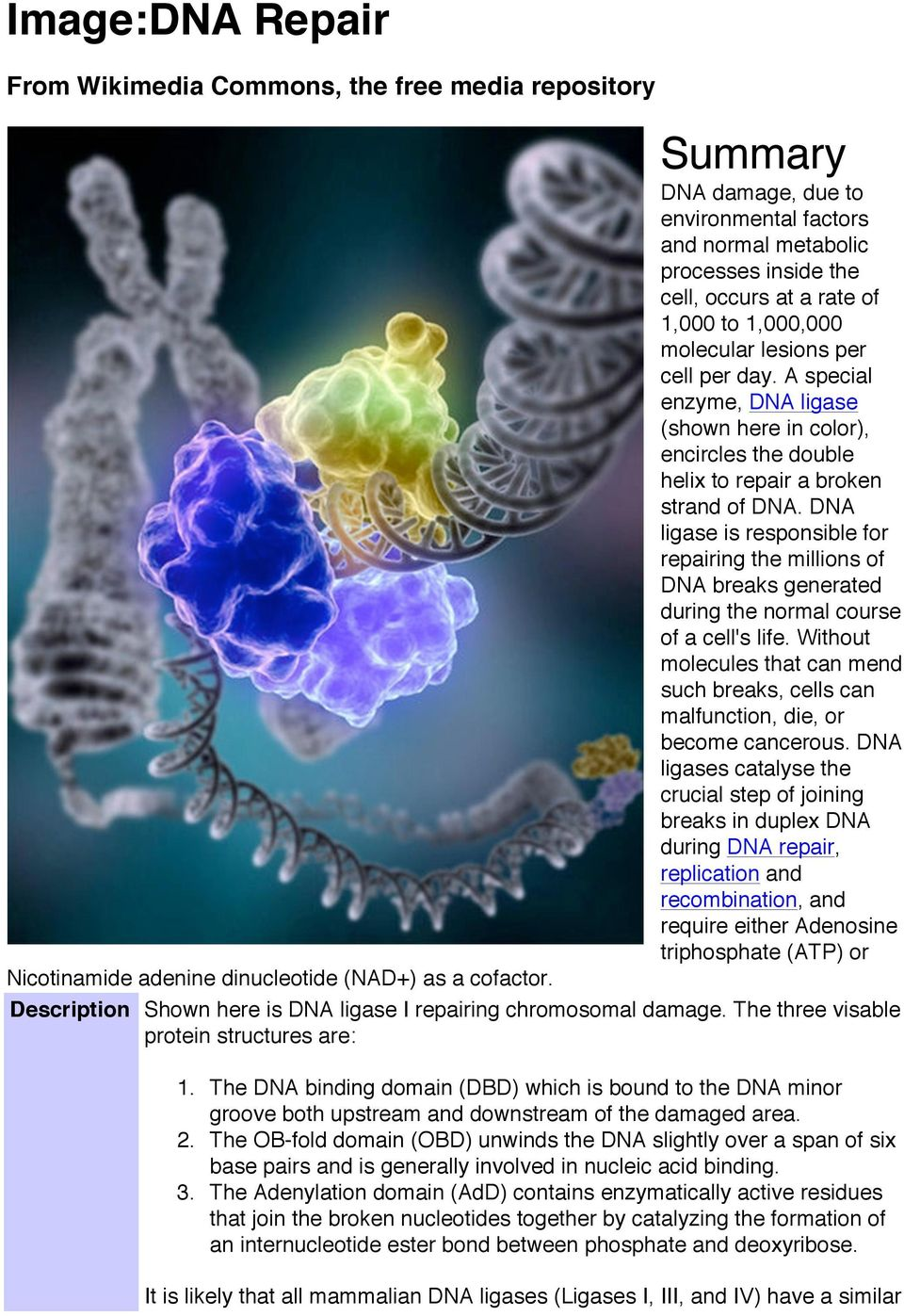 DNA ligase is responsible for repairing the millions of DNA breaks generated during the normal course of a cell's life.