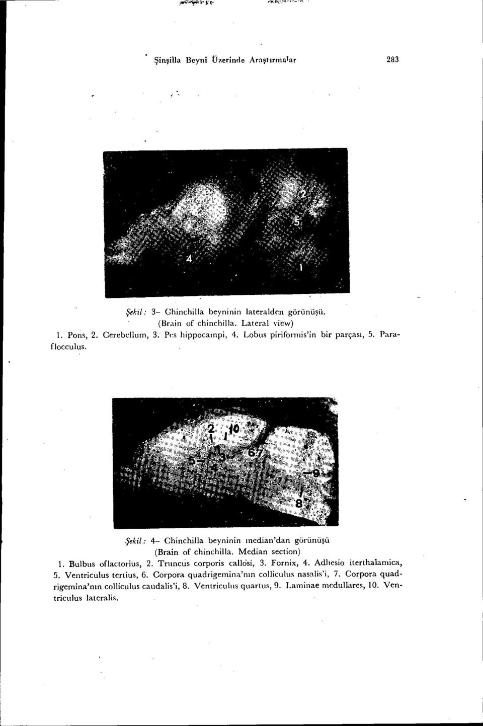 Şekil: 4- Chinchilla beyninin median'dan görünüşü (Brain of chinchilla. Median section) ı. Bulbus oflactorius, 2. Trııncus corporis callôsi, 3.