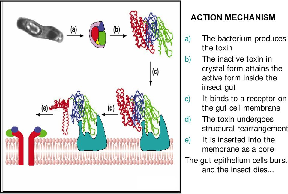 receptor on the gut cell membrane d) The toxin undergoes structural rearrangement