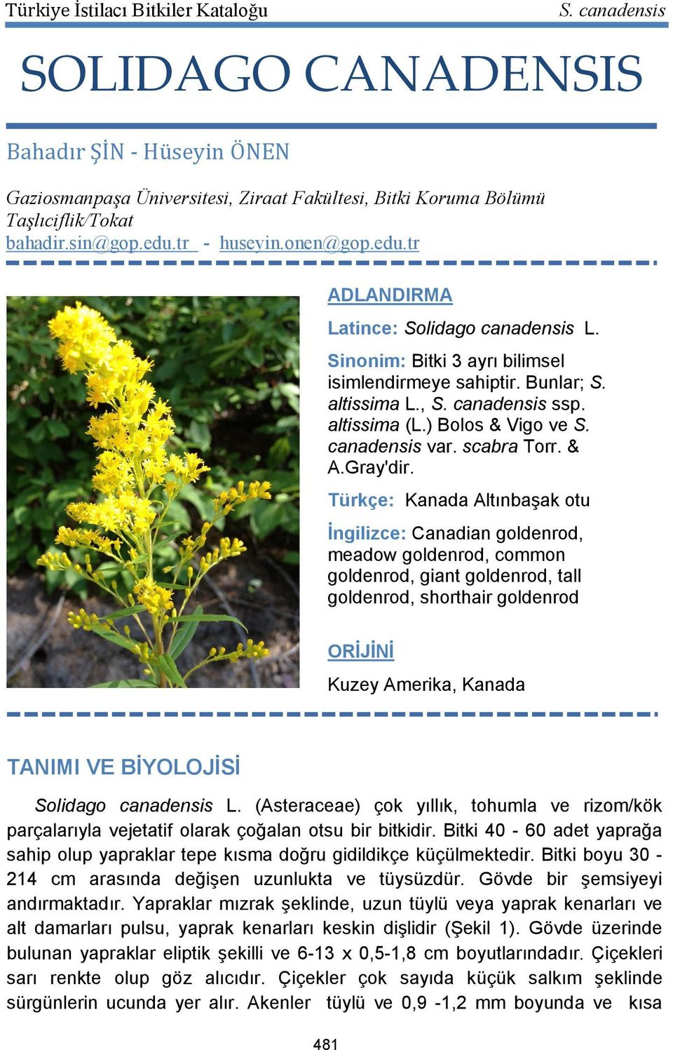 Türkçe: Kanada Altınbaşak otu İngilizce: Canadian goldenrod, meadow goldenrod, common goldenrod, giant goldenrod, tall goldenrod, shorthair goldenrod ORİJİNİ Kuzey Amerika, Kanada TANIMI VE