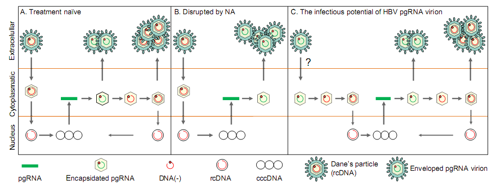 Antiviral tedavi sonucu hakkında daha iyi gösterge HBV pgrna Serum hepatitis B virus RNA is encapsidated pregenome RNA that may be associated with persistence of viral infection and rebound