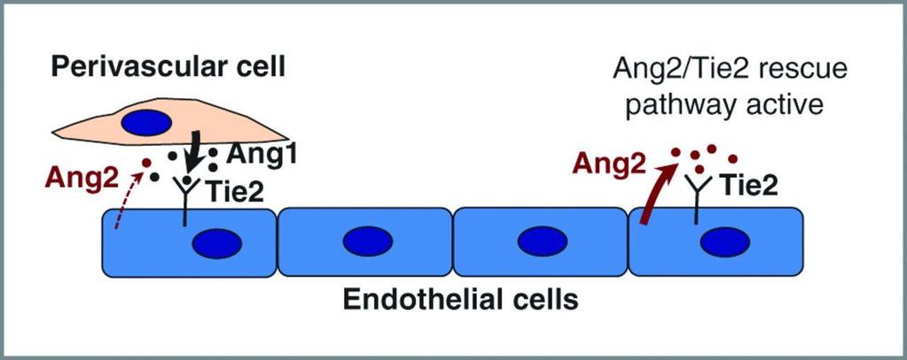 Model for the role of Ang2 signaling in tumor angiogenesis.