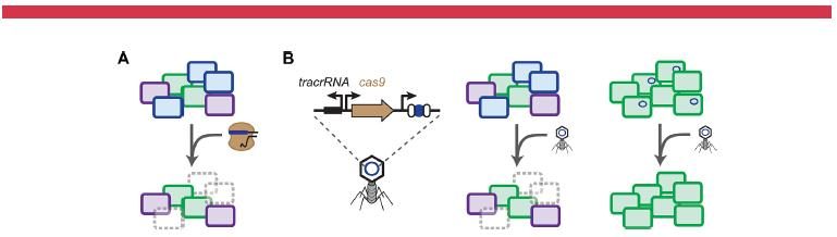CRISPR Temelli Antimikrobiyaller Luo ML, et al: Current and future prospects of