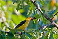 Female and juvenile golden oriole are duller than male, with yellowish-green upper parts, dark olive-brown wings and brown-streaked under parts.
