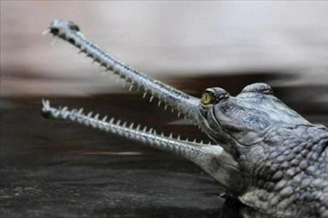 11-The Indian Gharial (Ganj Timsahı) Hindistan'da Ganj