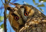 205 206 207 Kulaklı orman baykuşu Long-eared owl Asio otus Long-eared owl is a medium sized owl, 31 37 cm in length with an 86 98 cm wingspan.